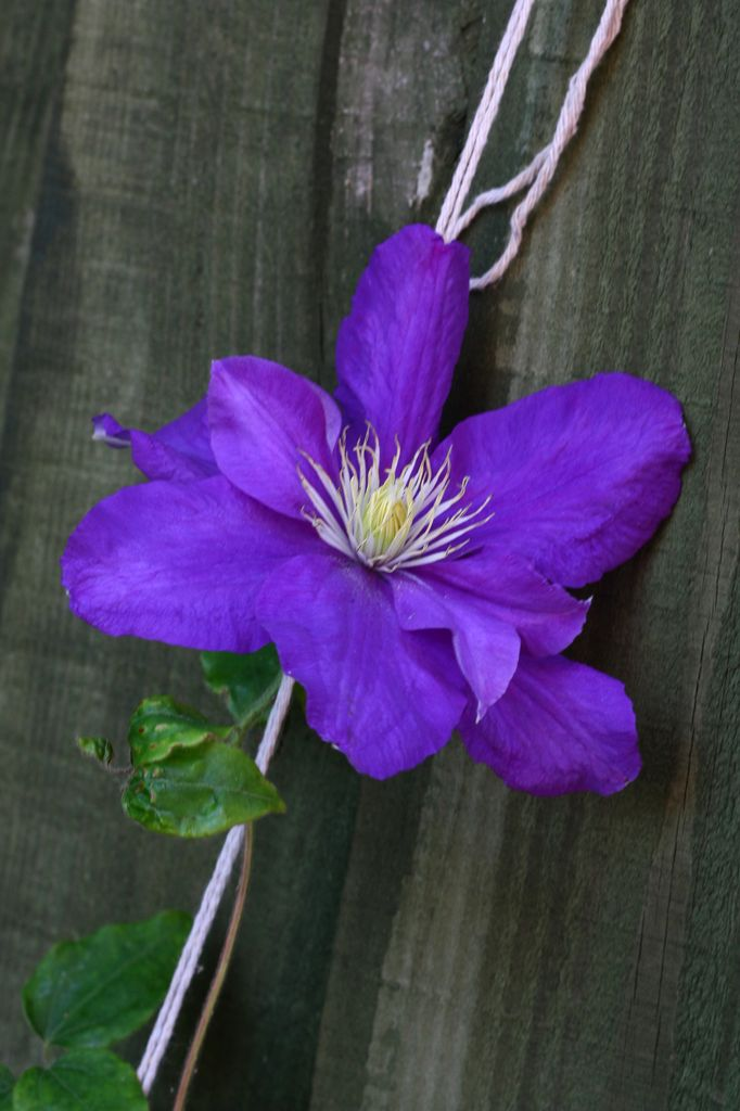 Photo of a pretty purple clematis flower