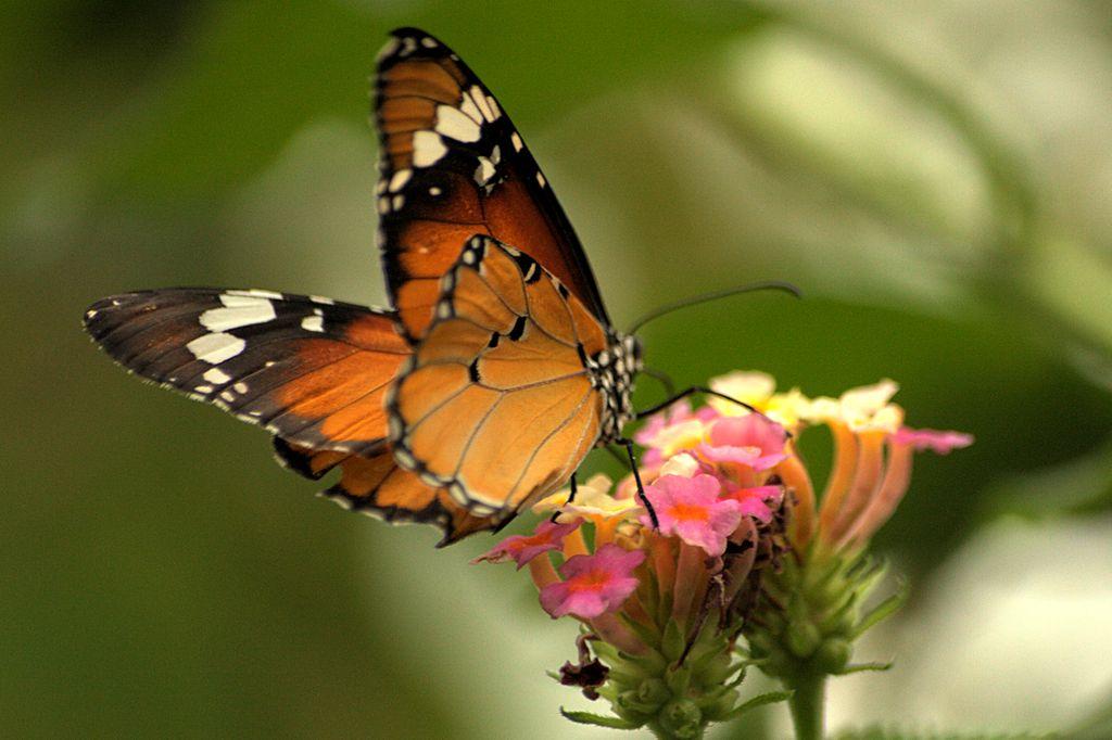 An orange butterfly