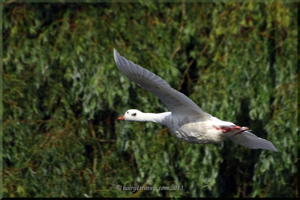 white goose in flight