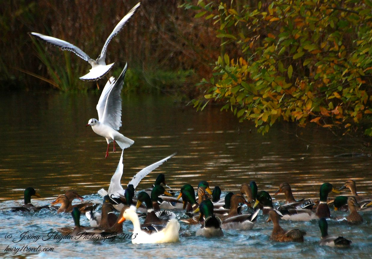 Gulls taking food from the ducks.