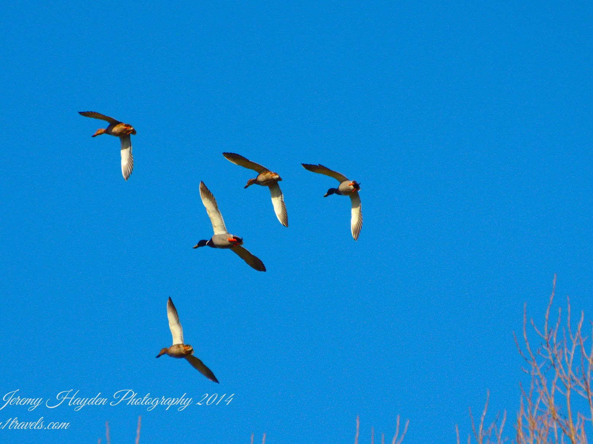 A Flypast of Ducks from The Travels of the Hairy 1