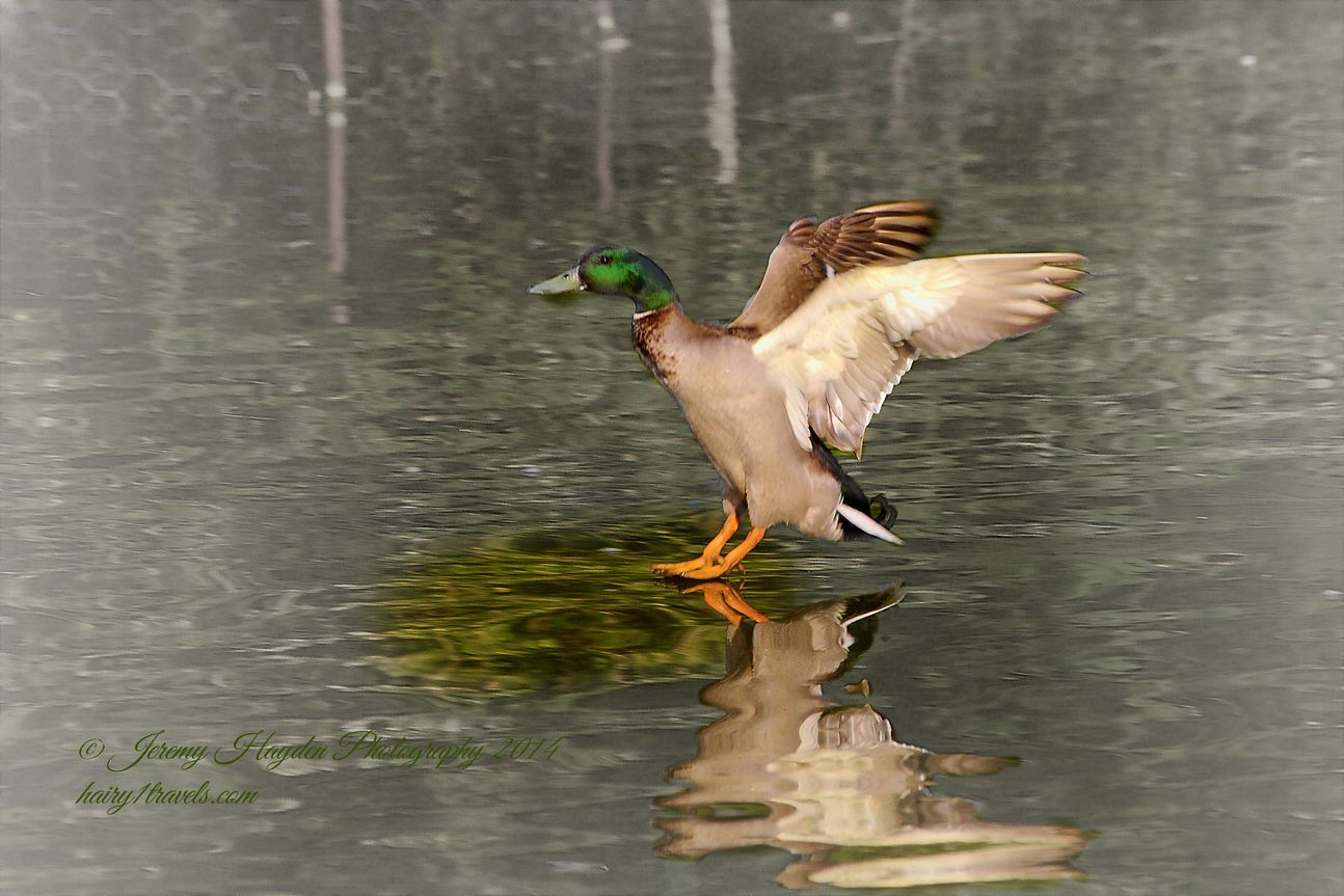 A mallard drake duck just touching the water on the lake.