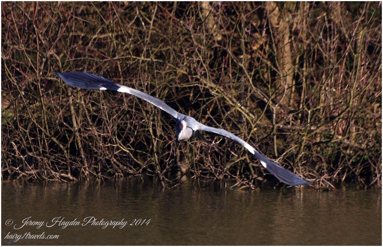 Grey heron in flight at an unusual angle