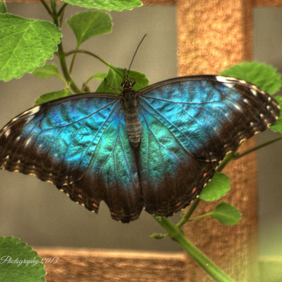 Blue winged butterfly