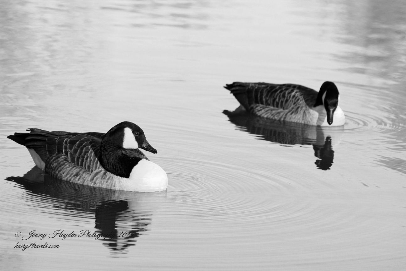 A pair of Canada geese on the lake.