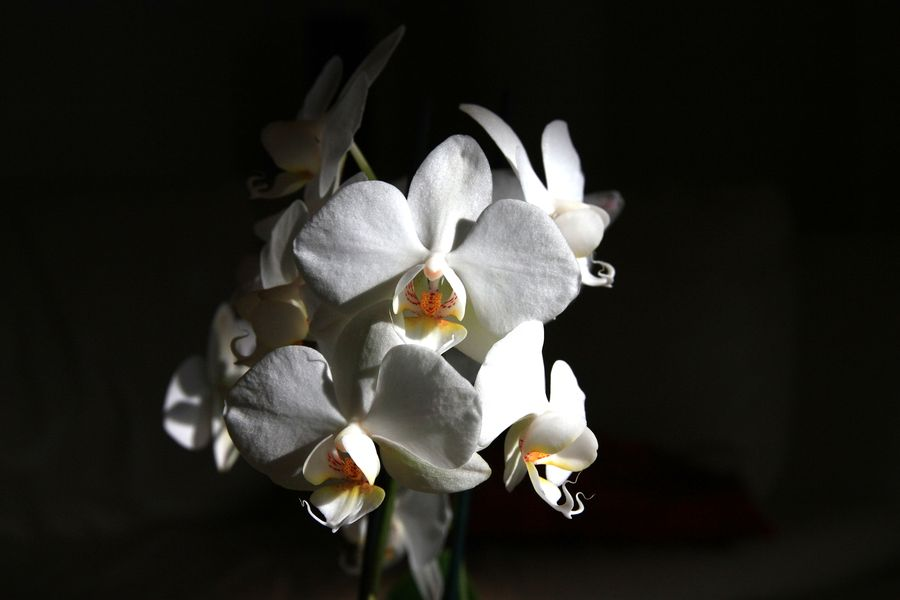 See the light just right on these orchid flowers.