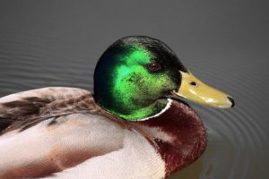 Green head of a mallard duck in the sun