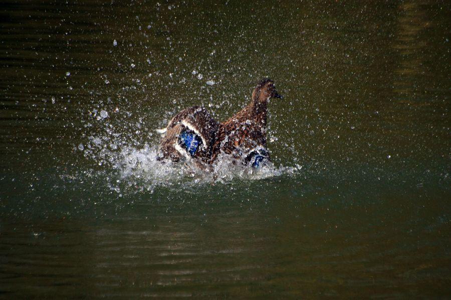 Female mallard duck splashing in the lake.
