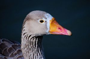 A grey goose came swimming by and had his portrait taken.