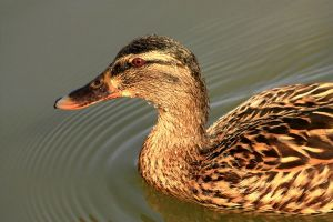 Portrait shot of a female mallard duck