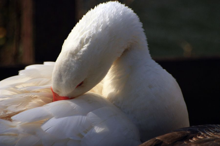 A white goose cleaning its feathers in the sun.
