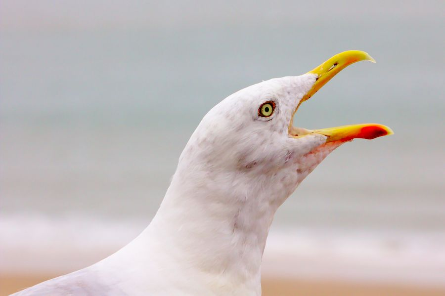 Hungry Seagull - photo sales on Picfair.