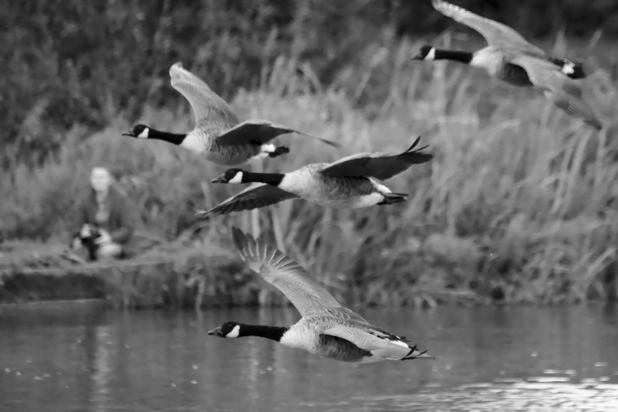 Canada Geese in flight. Shot using high ISO to keep the shutter speed up, using a 300mm zoom.
