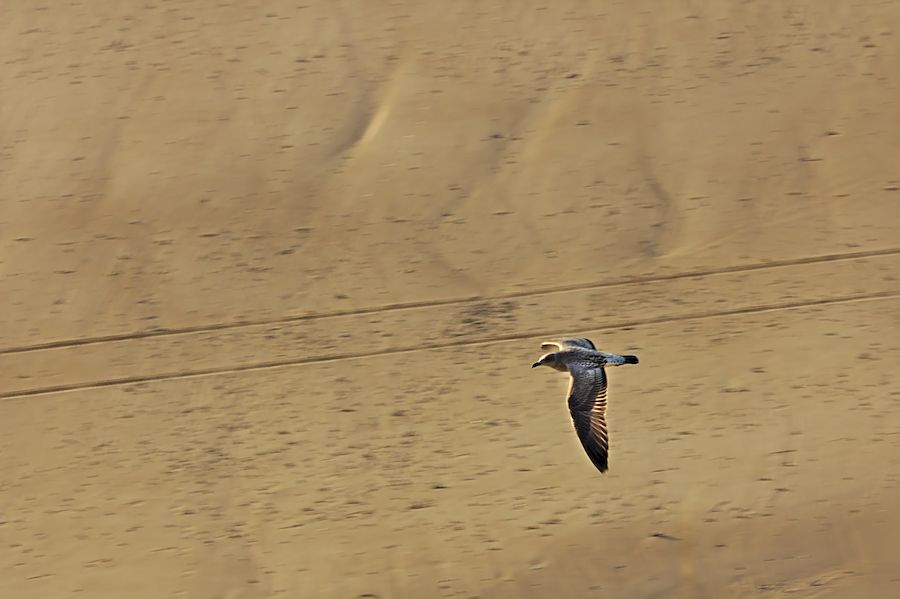 A seagull flying on Tenby Beach