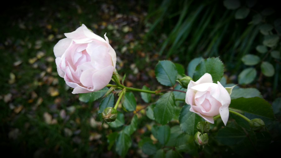 Pink roses in Autumn