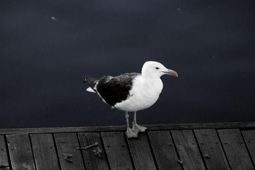 bluegull1-bw