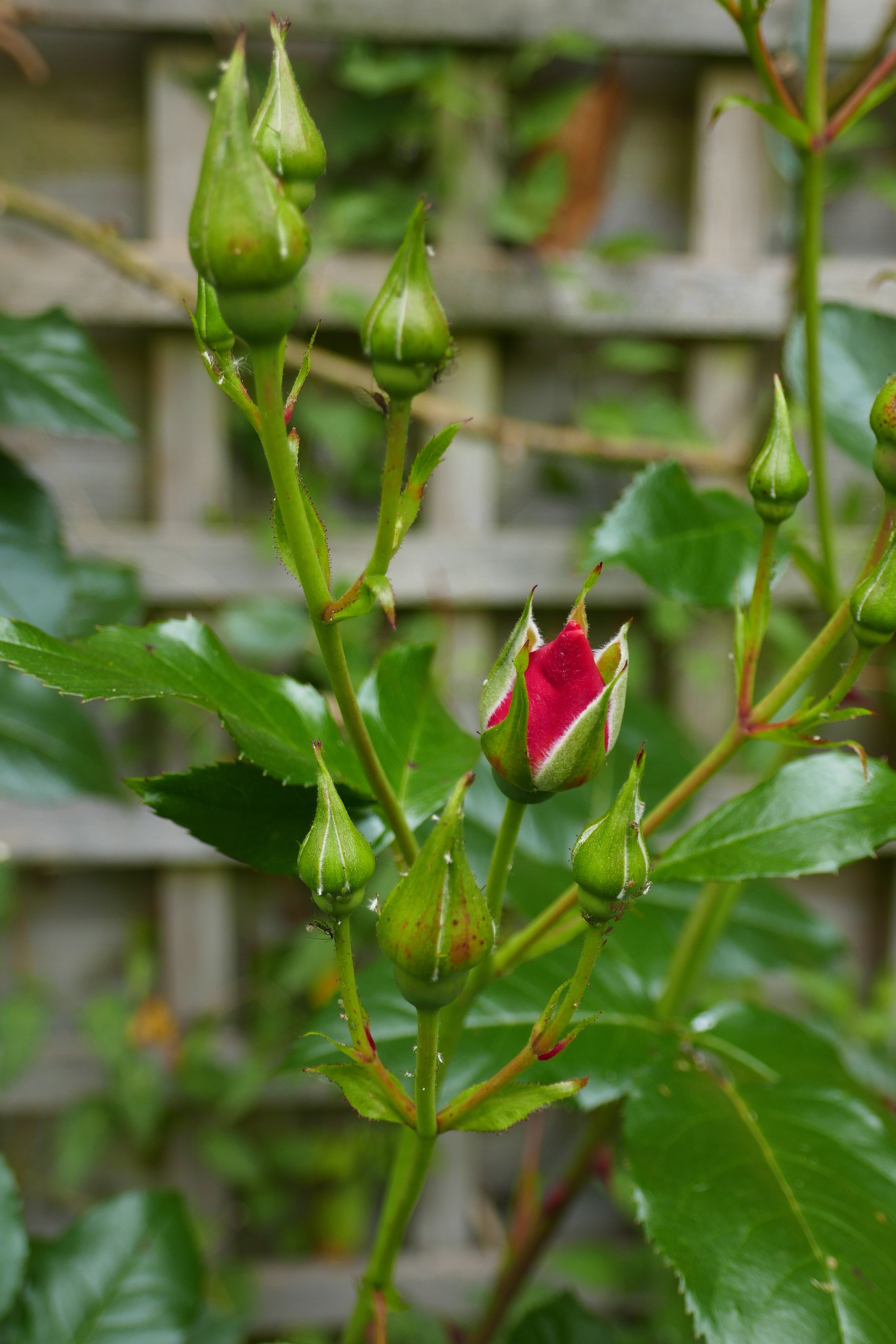 First flower of the spring - a fresh Red Rosebud in the green leaves