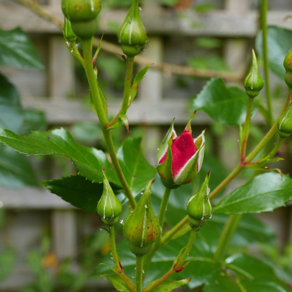 A fresh Red Rosebud in the green leaves