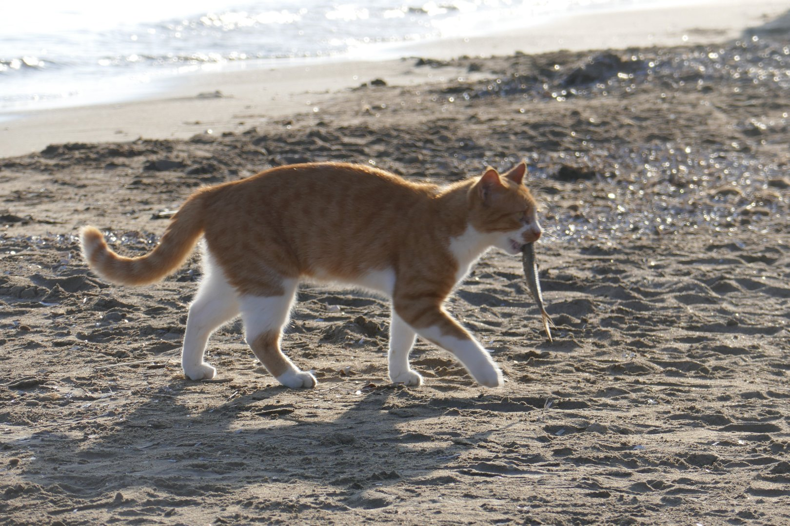 The beach cat at Kalamaki beach with his fish lunch.