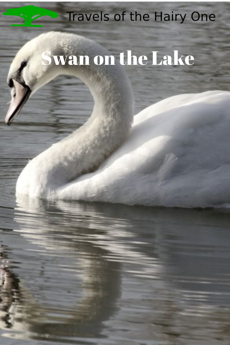 Swan on the Lake. Pin this to your boards.
