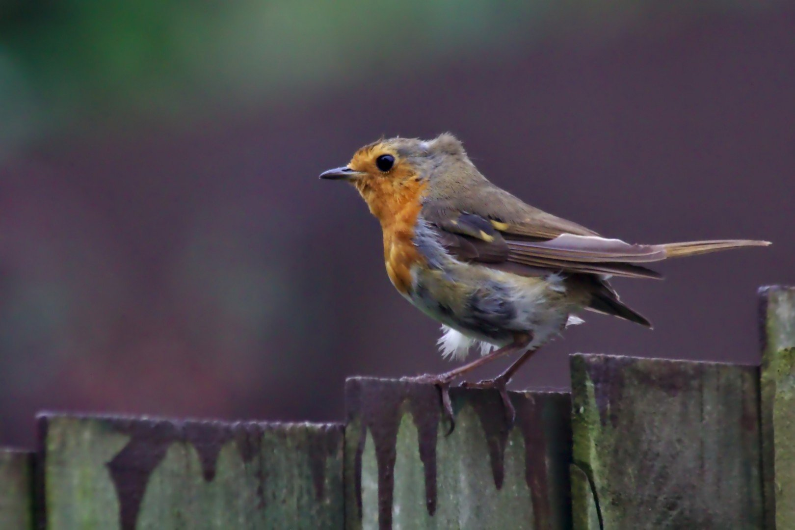 Red Breas Robin on a fence in heavy wind