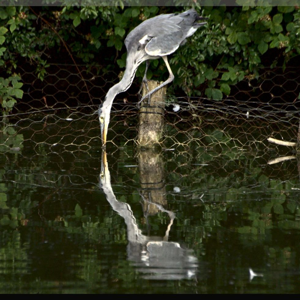 Hunting a grey heron at the lake. He has stopped for breakfast!
