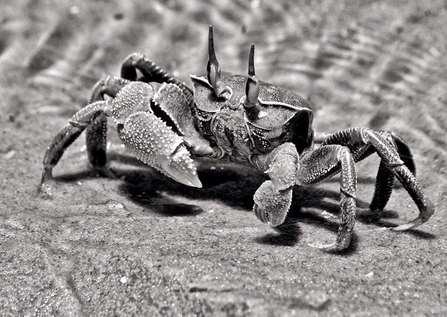 A crab on a beach in black and white. Bazaruto Island, Mozambique.
