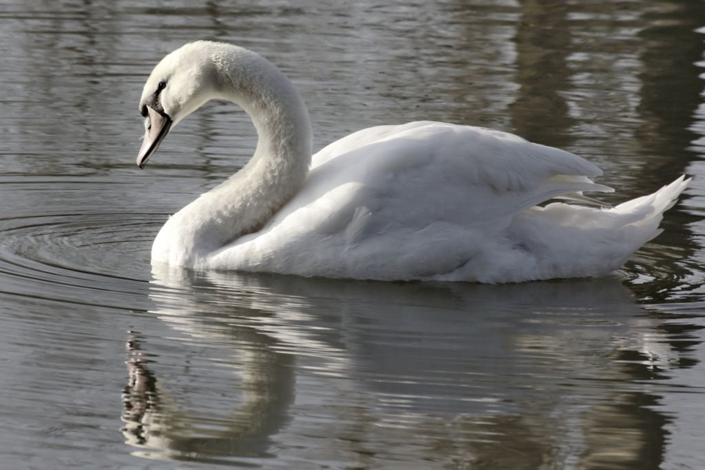 A pretty swan on the local lake.