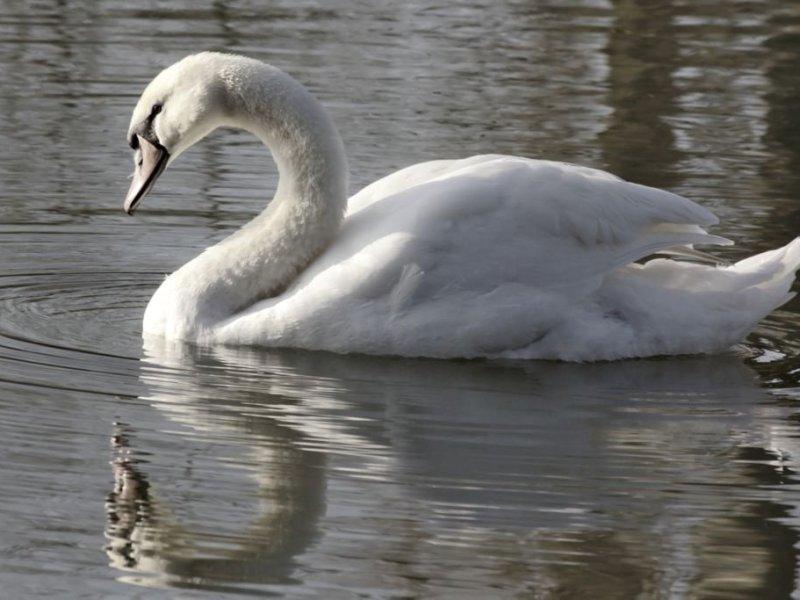 A pretty swan on the local lake.