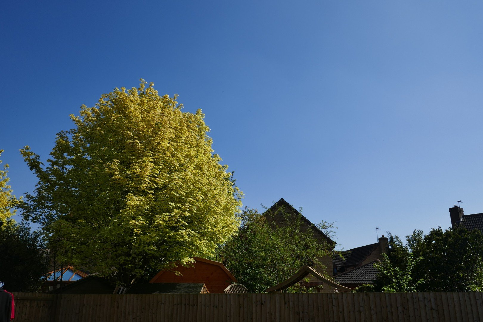 A beautiful blue sky on a spring day above a tree newly clothed with leaves