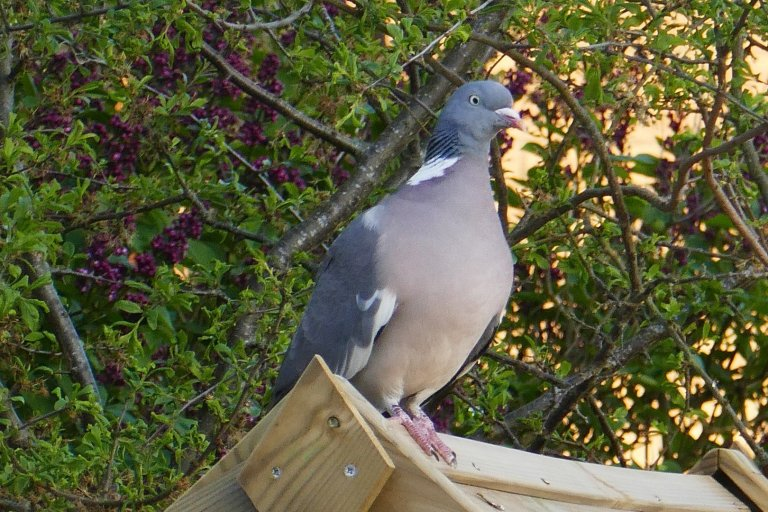 Plump Pigeon enjoying a spring evening
