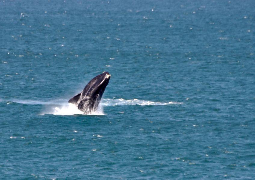 Whale breach at Hermanus