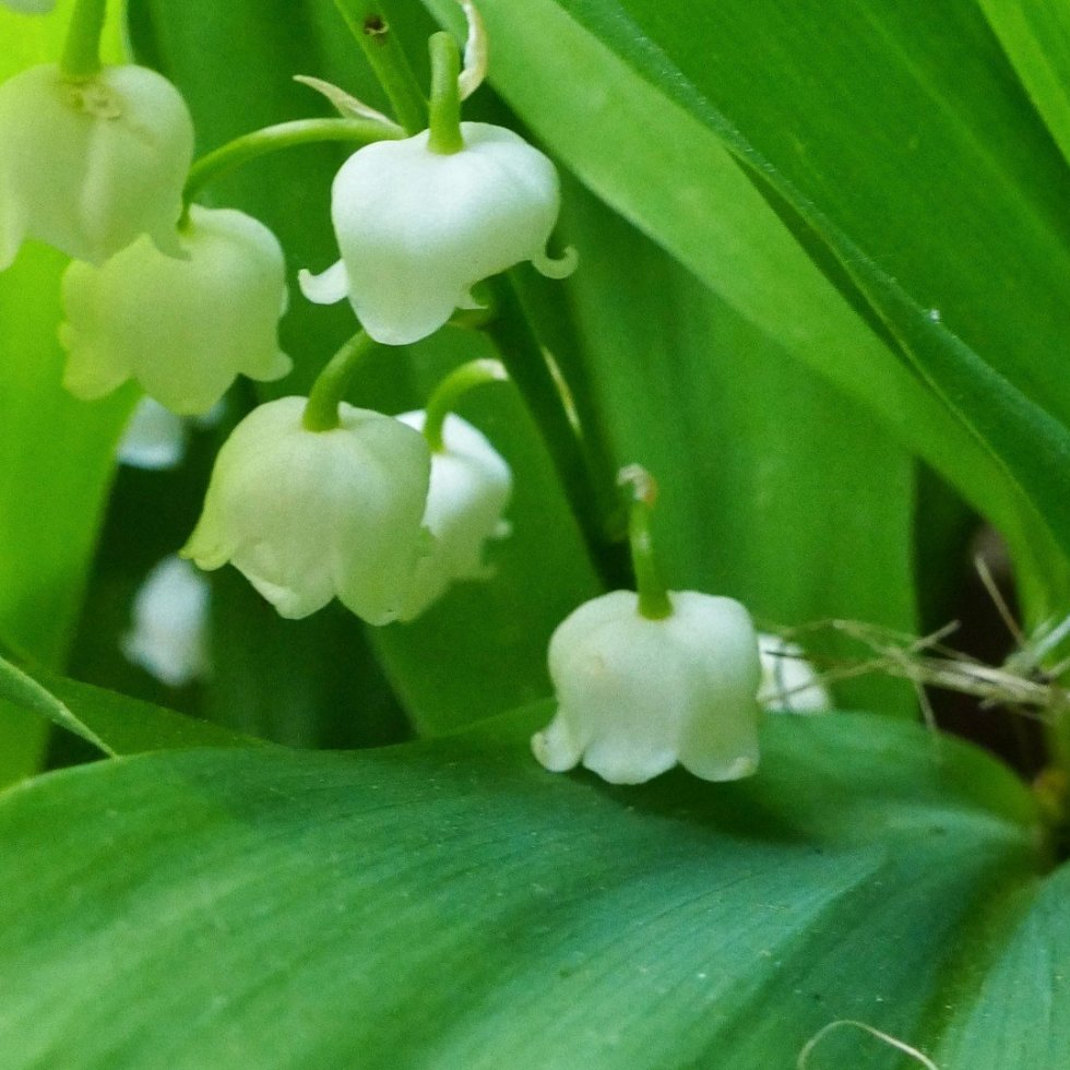 White bell shaped lily of the valley flowers in a nest of green leaves.