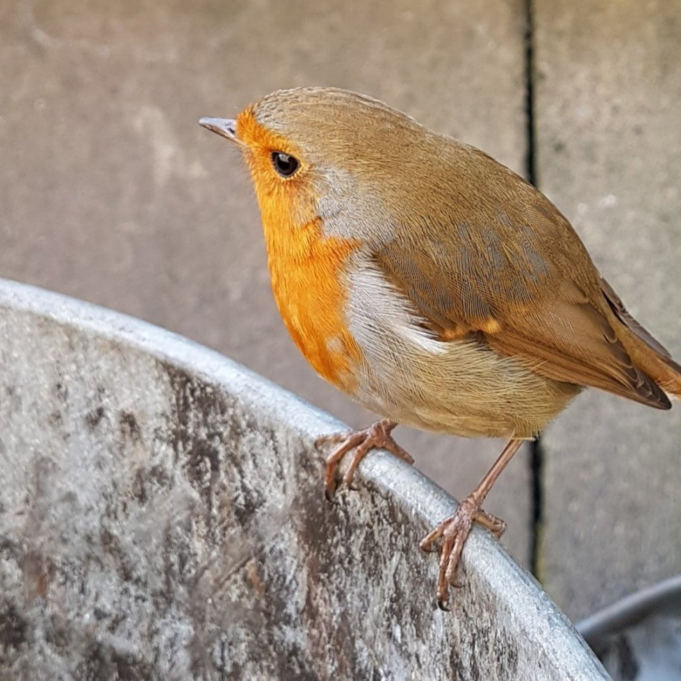 Industrial Robin on a bin