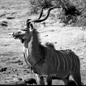 A Kudu Bull profile, in Hawange National Park, Zimbabwe