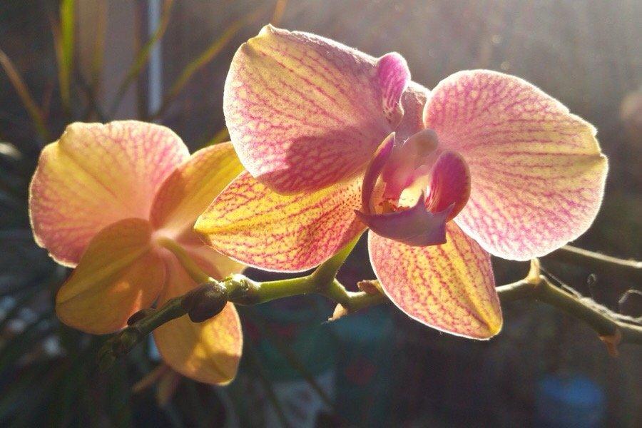 Backlit Orchid in the spring morning sunshine