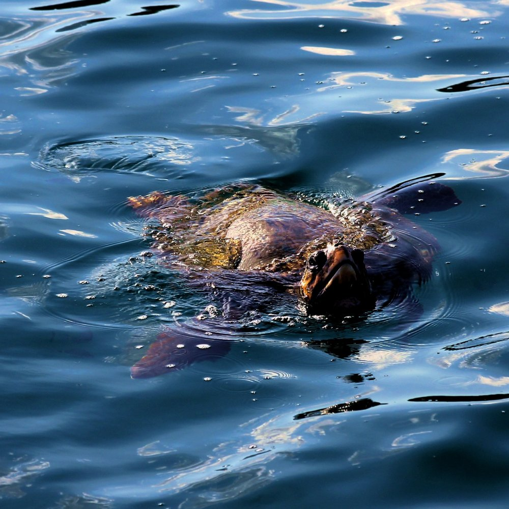 A turtle spotted in the harbour at Laganas at athe start of the sunset cruise.