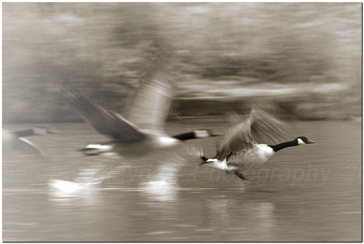 Canada Geese taking off in a blur of feathers.