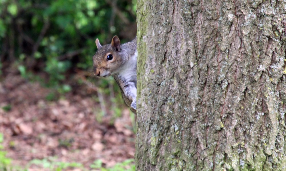 A squirrel peering around a tree at me.