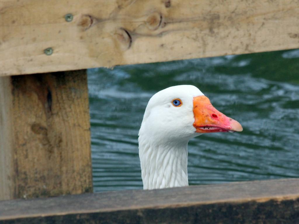A white goose peering through a wooden barrier at our local lake.