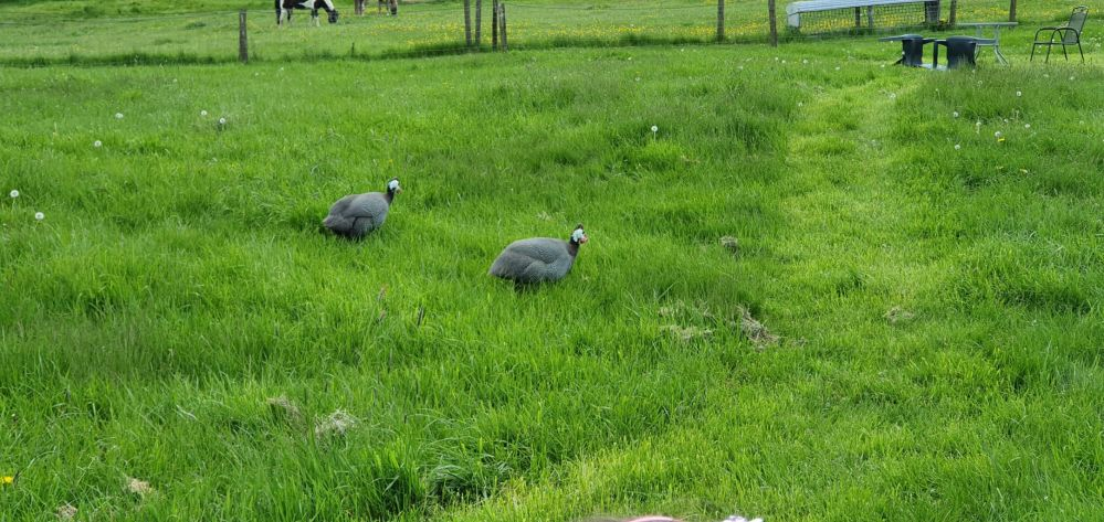 Guinea fowl in a field at Limes Farm, Farthinghoe.