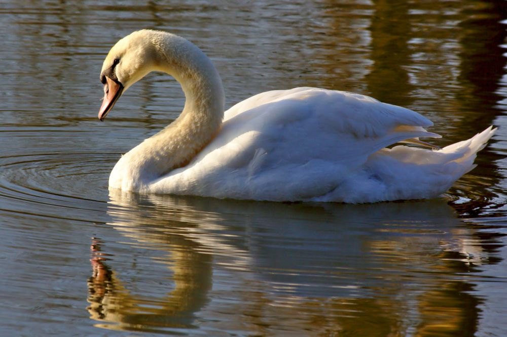 A mute swan preening feathers on a local lake. At the right time of year the swans make an appearance at our local lake in Brackley.